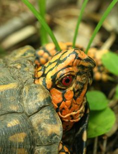 """Eastern Box Turtle"" (Terrapene carolina)"