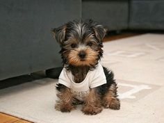 little puppies, cutest dogs, dream, christmas trees, yorkshire terriers, friend, little dogs, shirt, animal