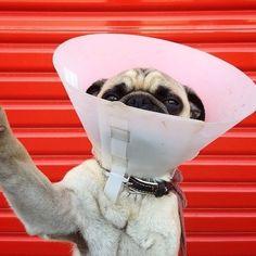 Pug cone-head selfie selfie, anim, instagram, norm, mobiles, conehead, pugs, pug dogs, dog photography