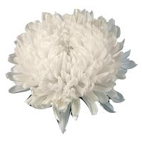 Mum / Chrysanthemum (football). Natural blooming season: Fall. Relative cost: Mid