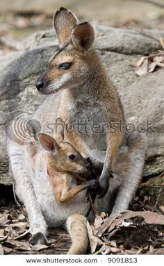 Seeing a baby pop out of it's mother's pouch.