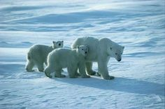 Polar Bear Safari on