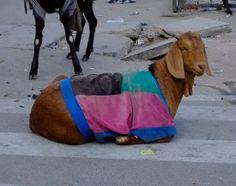 goats, sweaters, goat sweater, modern farmer