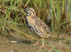 The Rain Quail or Black-breasted Quail (Coturnix coromandelica) is found in the grassland, cropped fields, and scrubs across the Gangetic plains, and parts of peninsular continental India. The call is a metallic chrink-chrink, constantly repeated in the mornings and evenings, and in the breeding season also during the night.