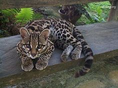 Not a leopard or cheetah, but this is a Margay. What cute eyes and pretty spots! (via Kittyflix)