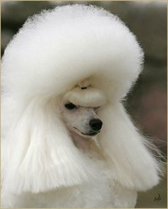 Show poodle with added hair wiggies