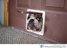 cats, anim, pet, funni, english bulldogs, doggi door, puppi, heart smile, thing