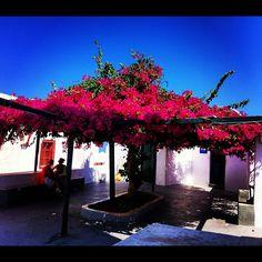 Flowers @ Oia #Santorini - Instagram Photo shot by @rosana