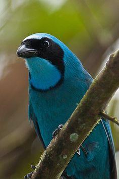 Turquoise Jay by sjdavies1969, via Flickr