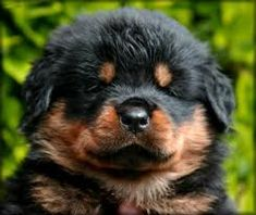 rottweilers, anim, teddy bears, puppy face, pet, rotti, rottweil puppi, dog, rottweiler puppies