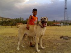 guardian dog, kangal dog, turkish dog, cat dog, dog kangal