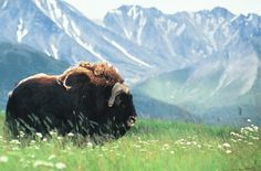 matanuska musk ox- virtual field trip to a musk ox farm