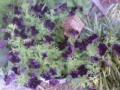 Black Petunias,  5-28-2012