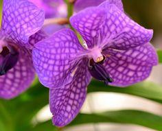 Pua Poni | Purple lined flower