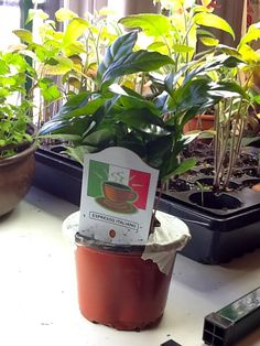 Grow Your Own Coffee?