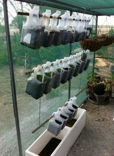 Growing room in milk jugs