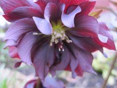 Thanks to Dan Hinkley, Tony Avent, … | Garden Rant