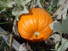 Pumpkin surprise at the school garden