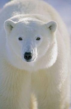 Polar Bear....Wow
