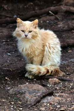 The feral cat is not your pretty fluffy cat sitting inside your home. He is not the pretty fluffy cat sitting in the pet store window. The feral...