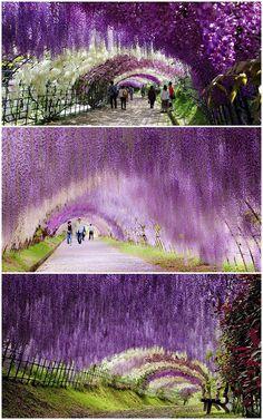 wisteria tunnel-japan
