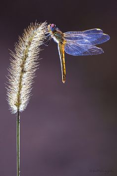 Dragonfly ~ Red-vein