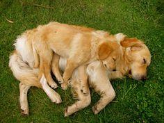 Goldens - adorable.