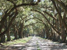 tree, dream, driveway, beaufort south carolina, place, beaufort carolina, the road