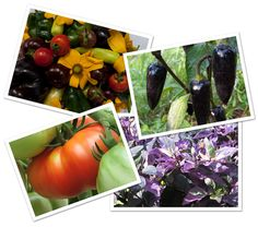 MICHIGAN HEIRLOOMS - Organic, heirloom tomato, pepper and lettuce plants.