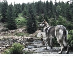 Wolfdog Maya on her