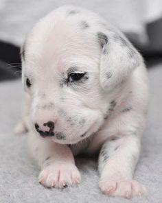 dalmation puppy