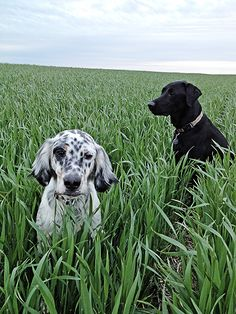 Upland Hunting Dogs www.kevinscatalog.com