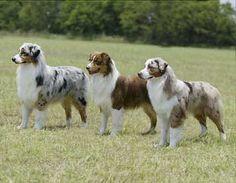 LOVE australian shepherds!!!!