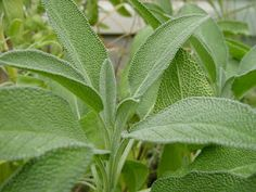 These herbs... sage, basil, oregano, rosemary, and thyme have so many medicinal uses...