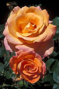 'Magic Lantern' Hybrid Tea Rose