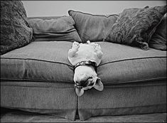 Comfortably Stuck by kismekate #French_Bulldog