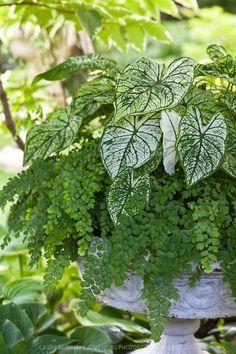 Caladiums and maidenhair fern | GreenFuse Photos: Garden, farm  food photography