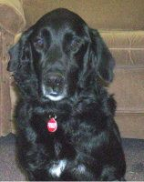 Tucker is an adoptable Flat-Coated Retriever Dog in Wooster, OH. TUCKER was pulled from the Wayne County Humane Society in Wooster, Oh. the day he was to be euthanized. Star-Mar pulled him on Feb. 21s...