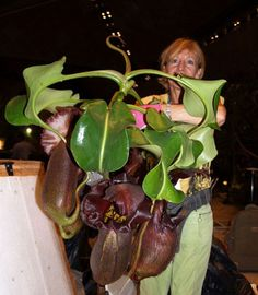 """Image detail for -... chronicle: Nepenthes robcantleyi aka """"Nepenthes black truncata"""