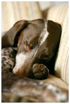 nap time, sleeping dogs, puppies, cat, german shorthaired pointer, dachshund, weight loss, weightloss, sweet dreams