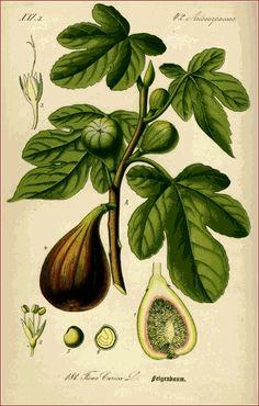 plant, fruit, botanical prints, ficus, botanical drawings, botan print, botan art, fig tree, garden