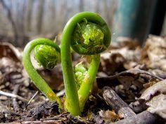 Fiddlehead hunting plant, books, butter, vegetables, earth, green live, garden, ferns, book reviews