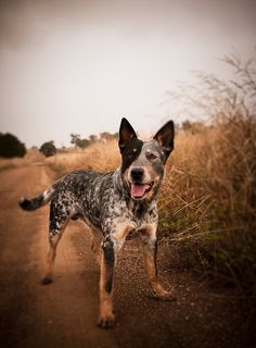 cattle dog stance