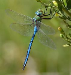 Animals That Start With D - The dragonfly belongs in the family of insects and can be found in different colors. The dragonflies can change from ugly nymph to a beautiful creature like the one on the picture. #AnimalsThatStartWithD #dragonfly