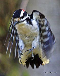 downey woodpecker, male.