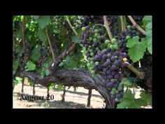 A time-lapse video of grapevines going through veraison. Jordan Winery