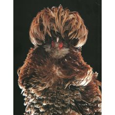 A bearded chamois Polish frizzle. The breed is very popular for exhibition and was virtually extinct until a handful of enthusiasts recently started a breeding program to revive it. They are now considered to be a rare breed. Photographer: Stephen Green-Armytage/Newsteam. Text: The Telegraph, Extraordinary Chickens from Around the World