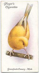 Greenfinch-Canary Mule bird (c. 1903-1917)