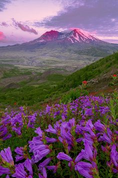 Alpenglow and wildflowers - Sunset at Mount Saint Helens National Volcanic Monument, Washington, USA   (by Scott Smorra)