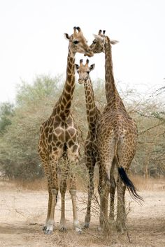Giraffe threesome.